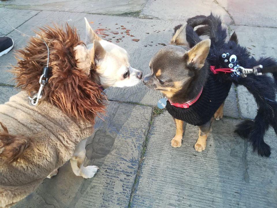Image may contain: Pet, Mammal, Dog, Chihuahua, Canine, Animal