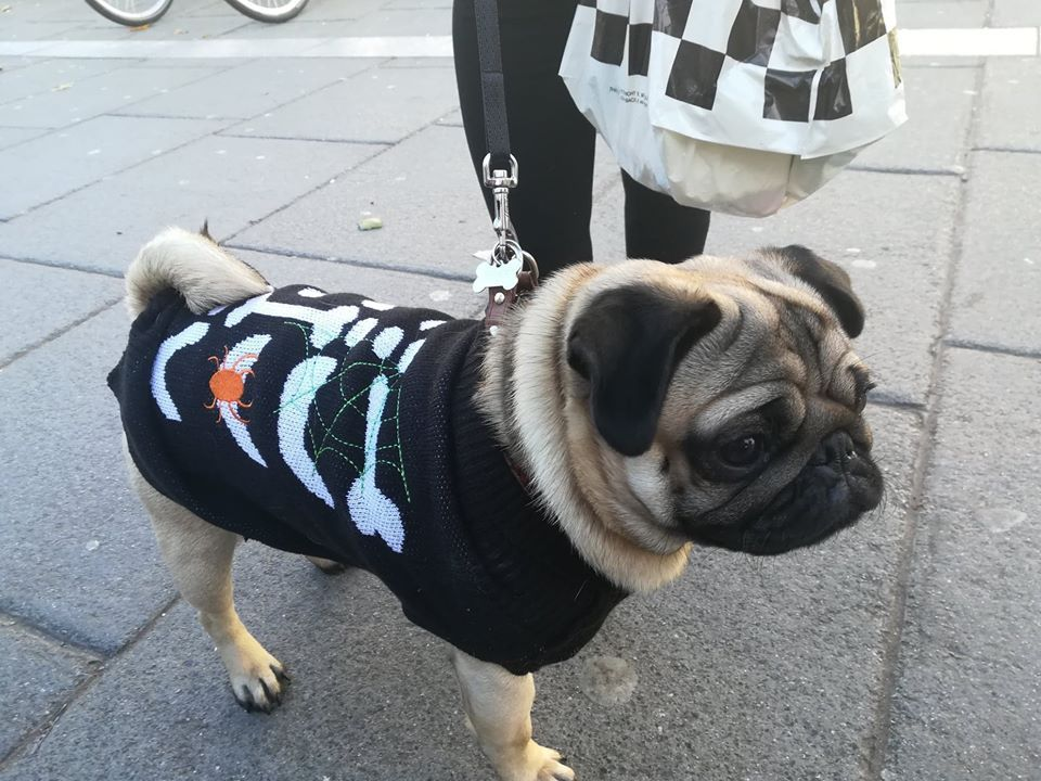 Image may contain: Pug, Pet, Mammal, Dog, Canine, Animal