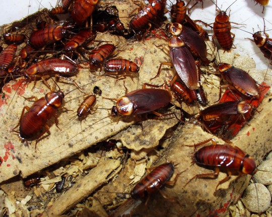 Cockroaches have been a problem at Ifor for years