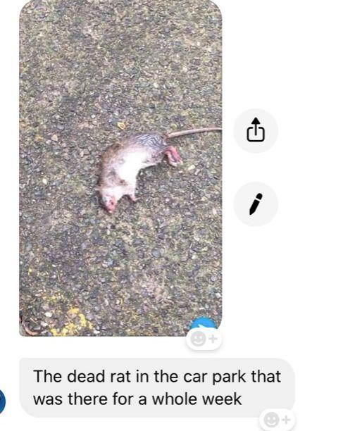 Image may contain: Rat, Rodent, Animal, Mammal
