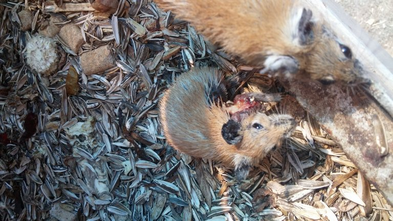 This rodent with an open wound did not receive any medical treatment