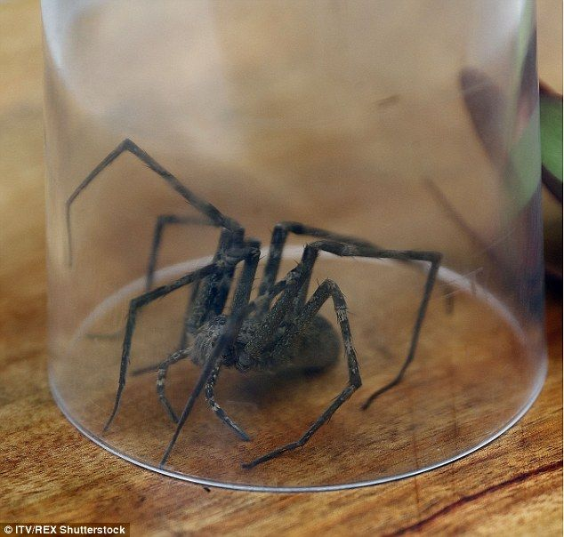 Image may contain: Spider, Invertebrate, Insect, Black Widow, Arachnid, Animal