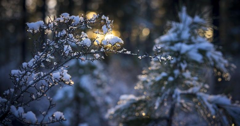 Image may contain: Tree, Pine, Conifer, Plant, Flower, Flora, Cherry Blossom, Blossom, Snow, Outdoors, Ice, Frost