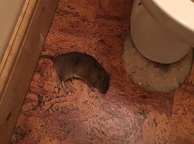 Image may contain: Mammal, Rodent, Animal, Rat
