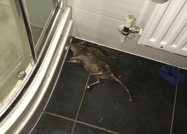 Image may contain: Rodent, Mammal, Rat, Animal