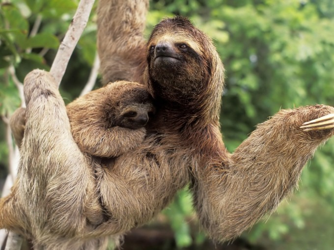 Sloths doing what sloths do best...being weird as shit