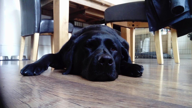 Image may contain: Labrador Retriever, Pet, Newfoundland, Mammal, Dog, Canine, Animal