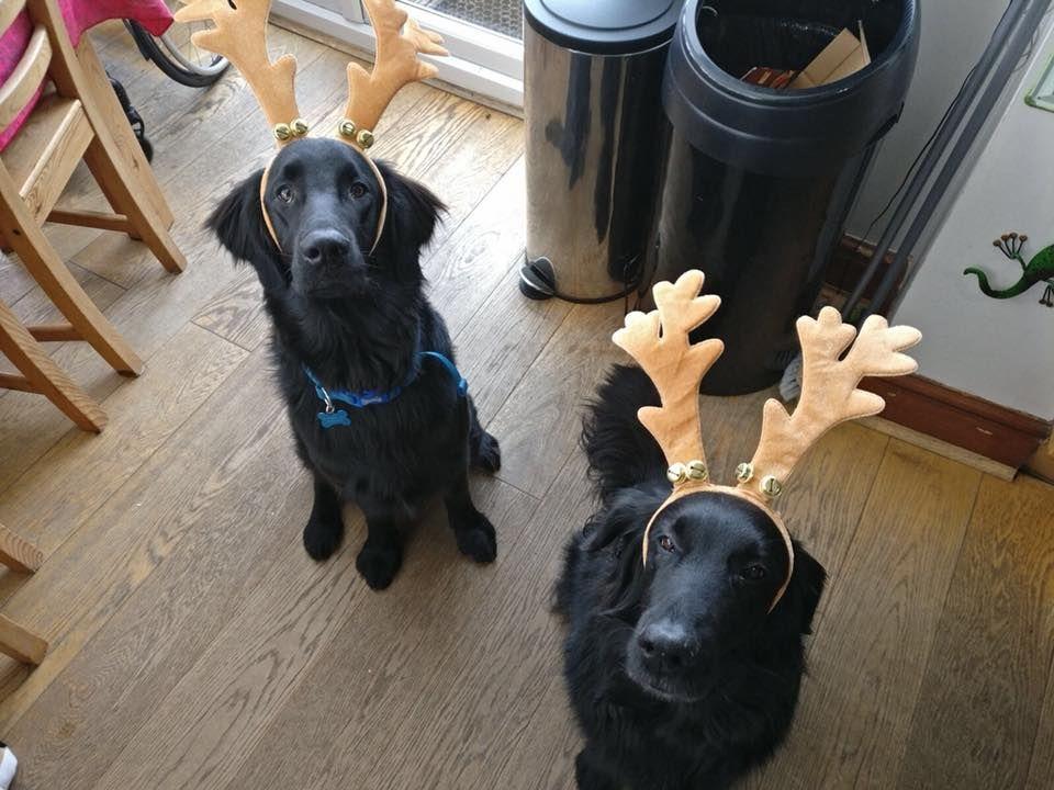 Image may contain: Pug, Labrador Retriever, Pet, Newfoundland, Mammal, Dog, Canine, Animal