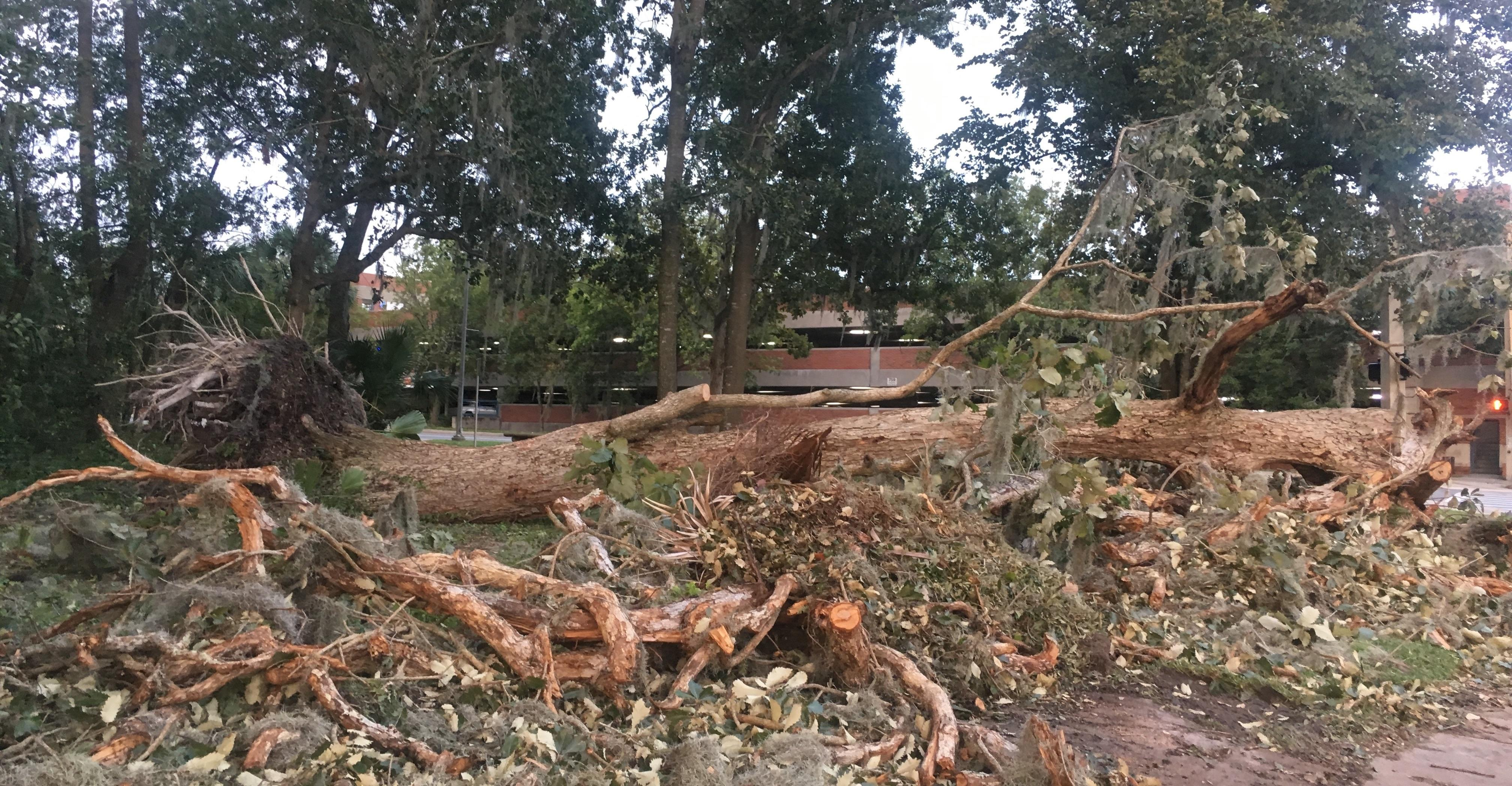A huge tree on the corner of Museum and Newell Drive uprooted during the hurricane.