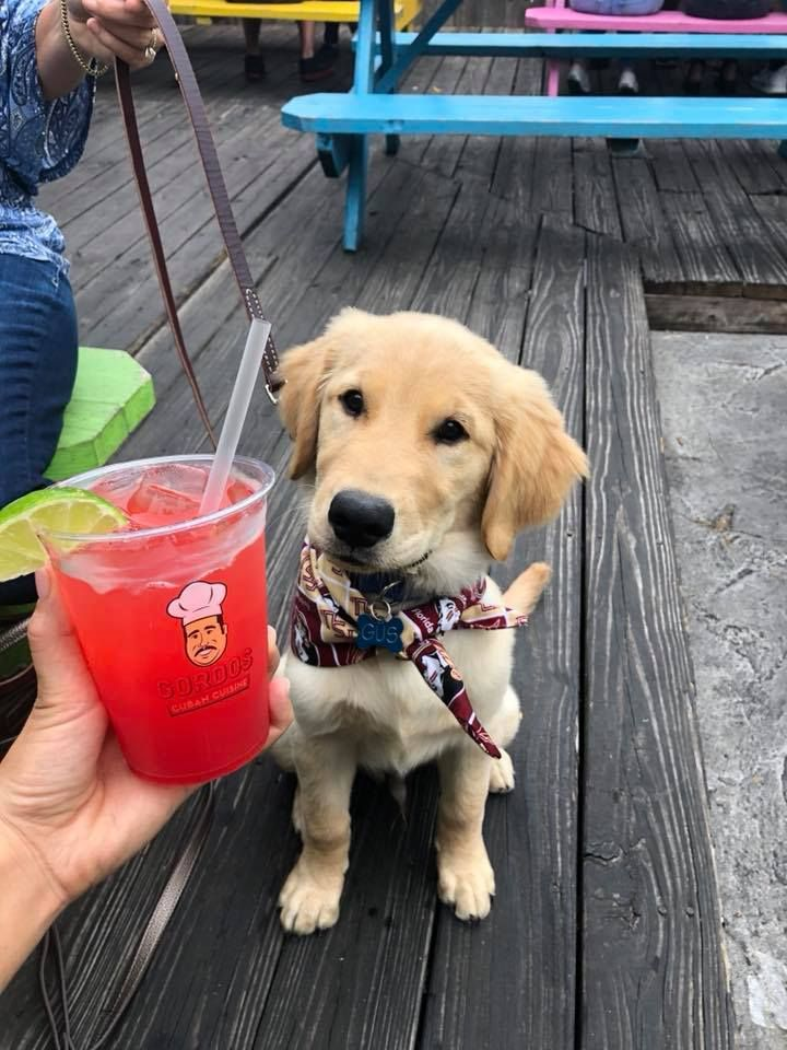 Image may contain: Drink, Beverage, Pet, Mammal, Golden Retriever, Dog, Canine, Animal, Bench, Person, People, Human