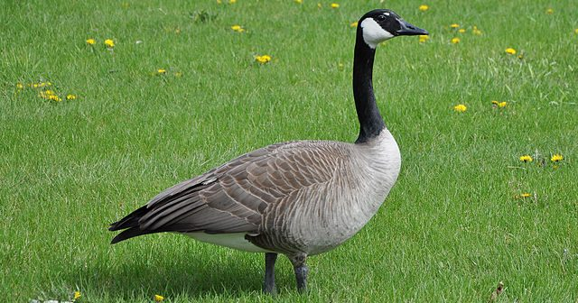 You can now become friends with a Warwick Goose on Facebook