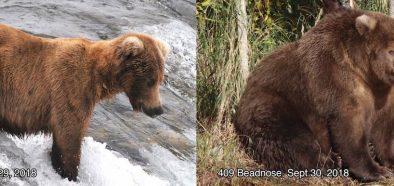 Image may contain: Wildlife, Mammal, Bear, Animal