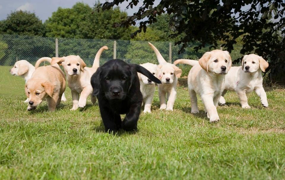 Image may contain: Pet, Mammal, Labrador Retriever, Dog, Canine, Animal