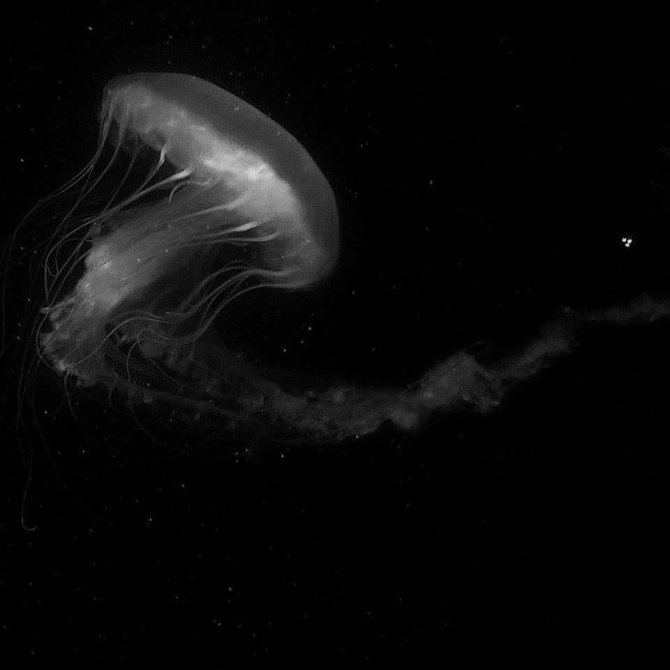 Majestic sea nettle