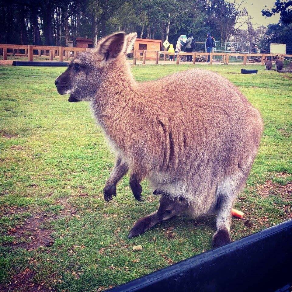 A cute wallaby and a joey!