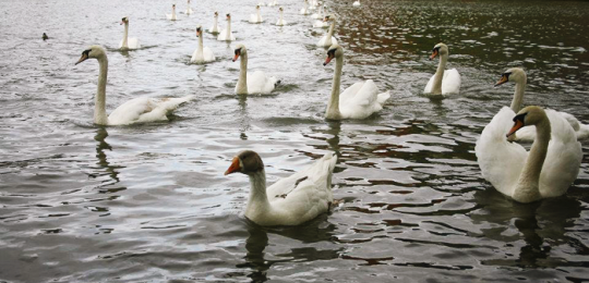The King of the Swans returns