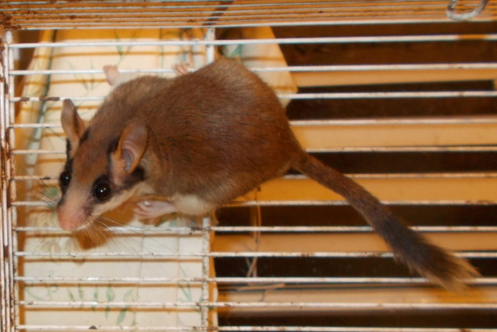 SWNS_FRENCH_DOORMOUSE_02 (2)
