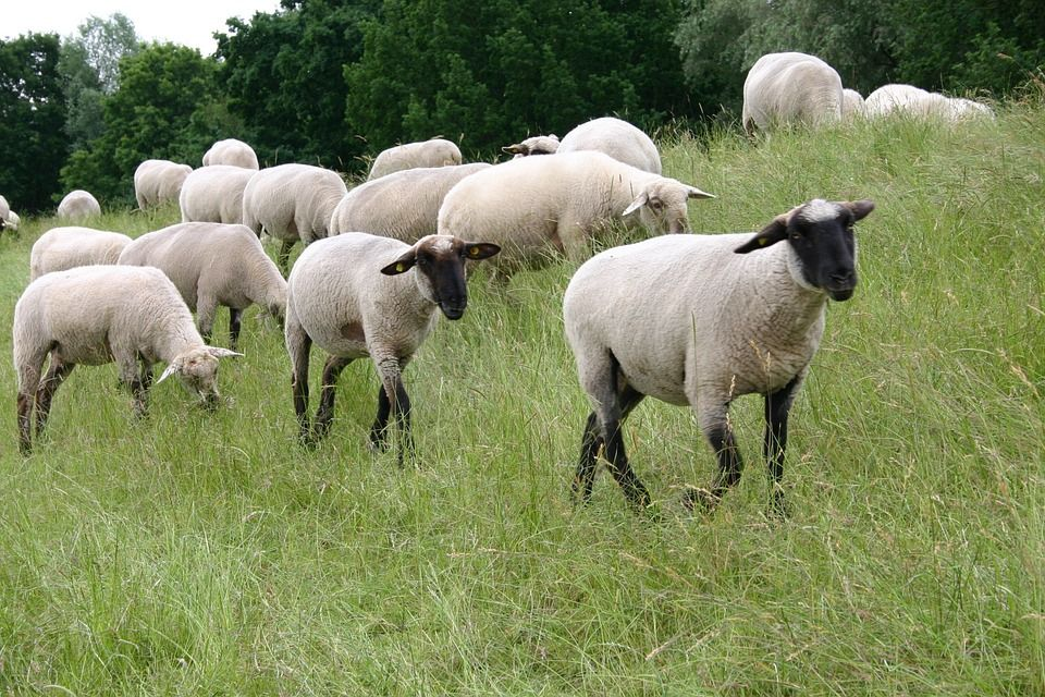 Image may contain: Ranch, Pasture, Outdoors, Meadow, Grassland, Countryside, Sheep, Mammal, Animal