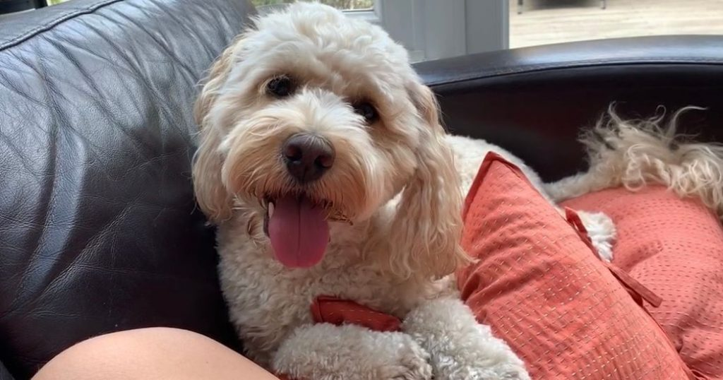 Image may contain: Terrier, Poodle, Puppy, Animal, Canine, Dog, Pet, Mammal