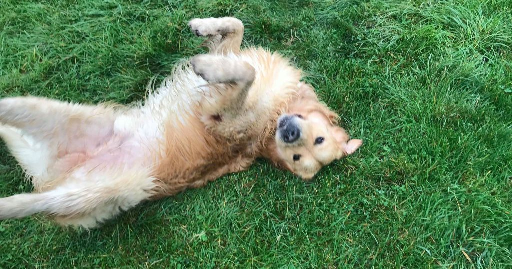 Image may contain: Nature, Outdoors, Yard, Puppy, Lawn, Pet, Golden Retriever, Canine, Animal, Dog, Mammal, Plant, Grass