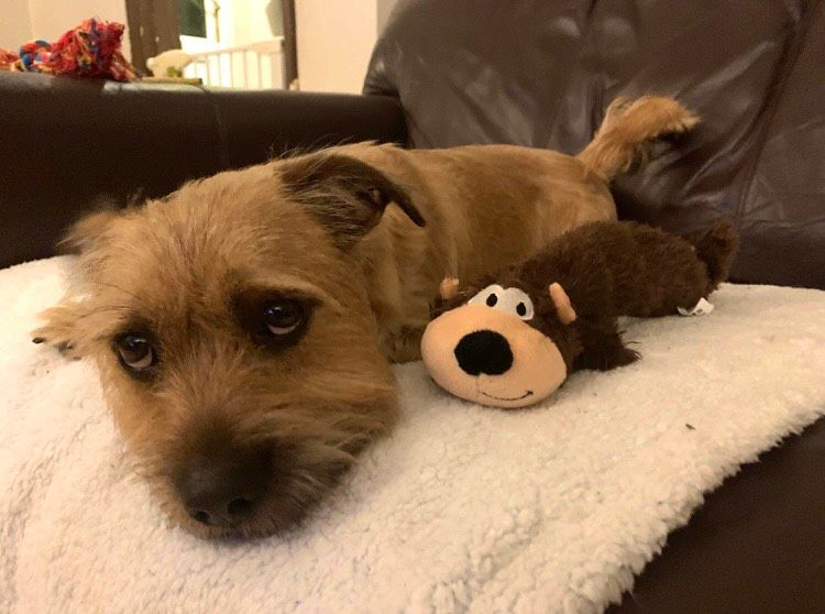 Image may contain: Terrier, Dog, Canine, Animal, Pet, Mammal, Furniture, Couch