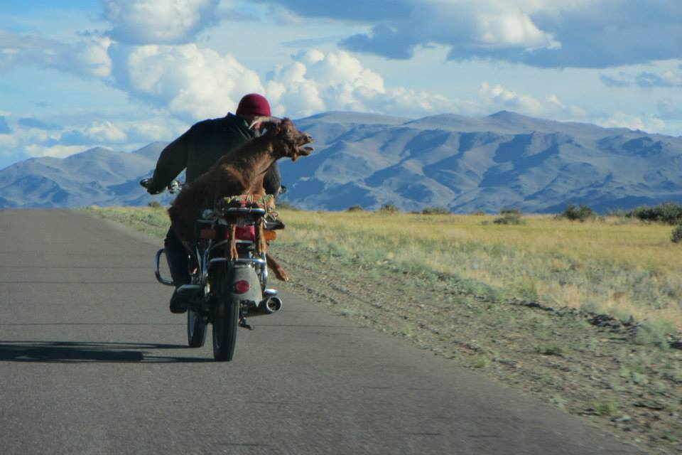 Guy's favourite photo - a goat strapped to a motorbike in Mongolia