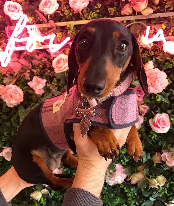 Image may contain: Apparel, Clothing, Outdoors, Puppy, Hound, Rose, Flower Bouquet, Flower Arrangement, Geranium, Mammal, Canine, Dog, Animal, Pet, Petal, Blossom, Flower, Plant