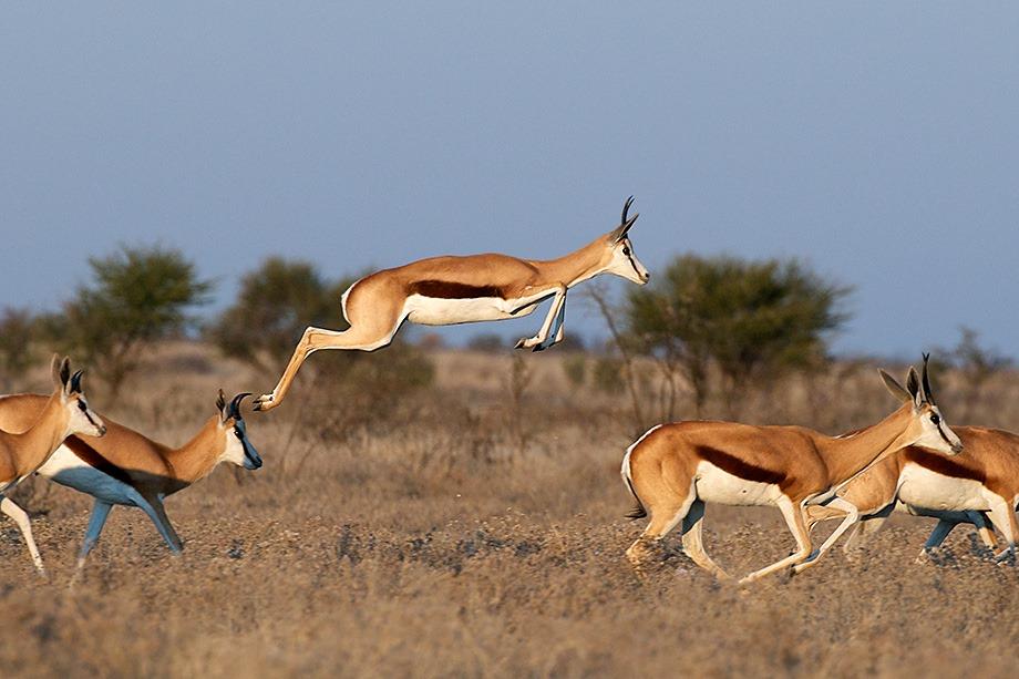 a springbok jumping for joy