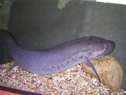 Did you know that lungfish can live out of water for several months? I bet you a tenner you didn't know that.