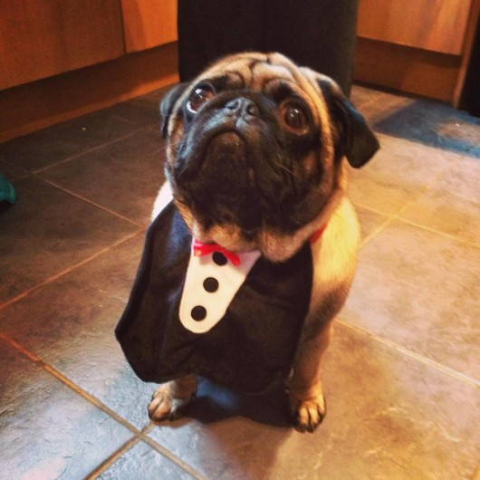 If your pet is too chubby for a full tuxedo costume, a front apron and bow tie is just as cute