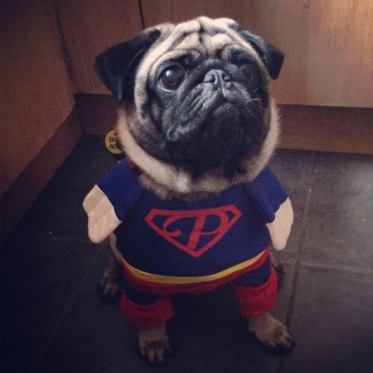 Super pug's superpower is judging you for forcing him to wear this costume