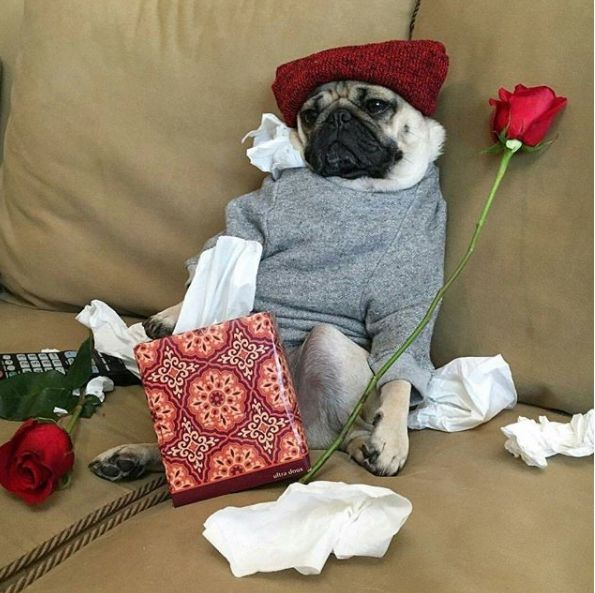 Image may contain: Home Decor, Blanket, Potted Plant, Vase, Pottery, Jar, Rose, Plant, Flower, Flora, Blossom, Pug, Pet, Mammal, Dog, Canine, Animal
