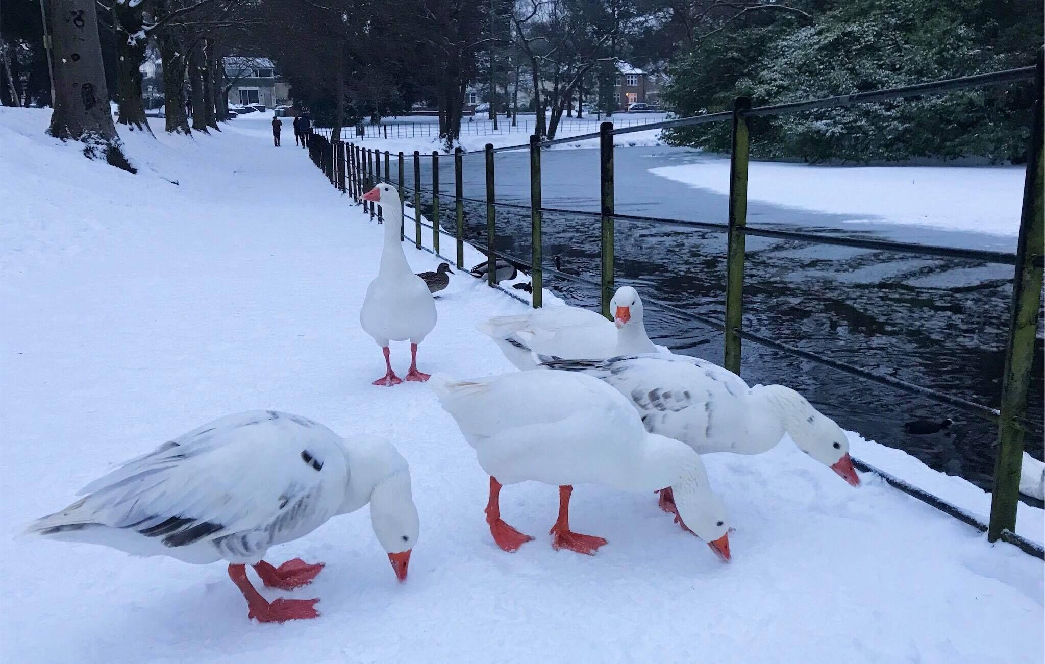 Image may contain: Ptarmigan, Grouse, Bird, Animal, Fence, Sports, Sport, Snow, Skiing, Outdoors