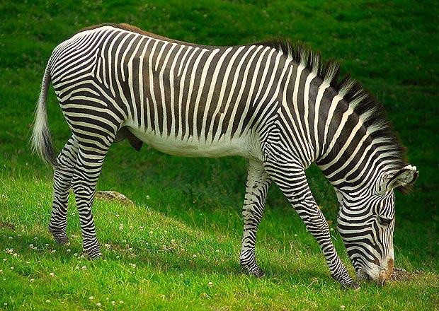 zebra-_1567908a