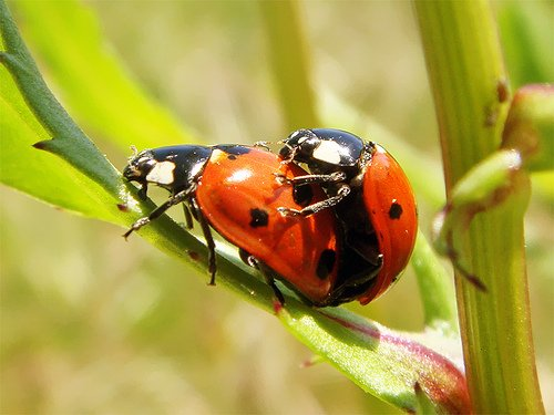 Rapidly reproducing ladybirds