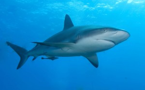 Caribbean_reef_shark-2