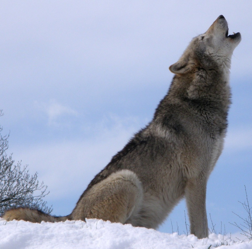 So majestic. Much hipster. Such wolf. Very howl