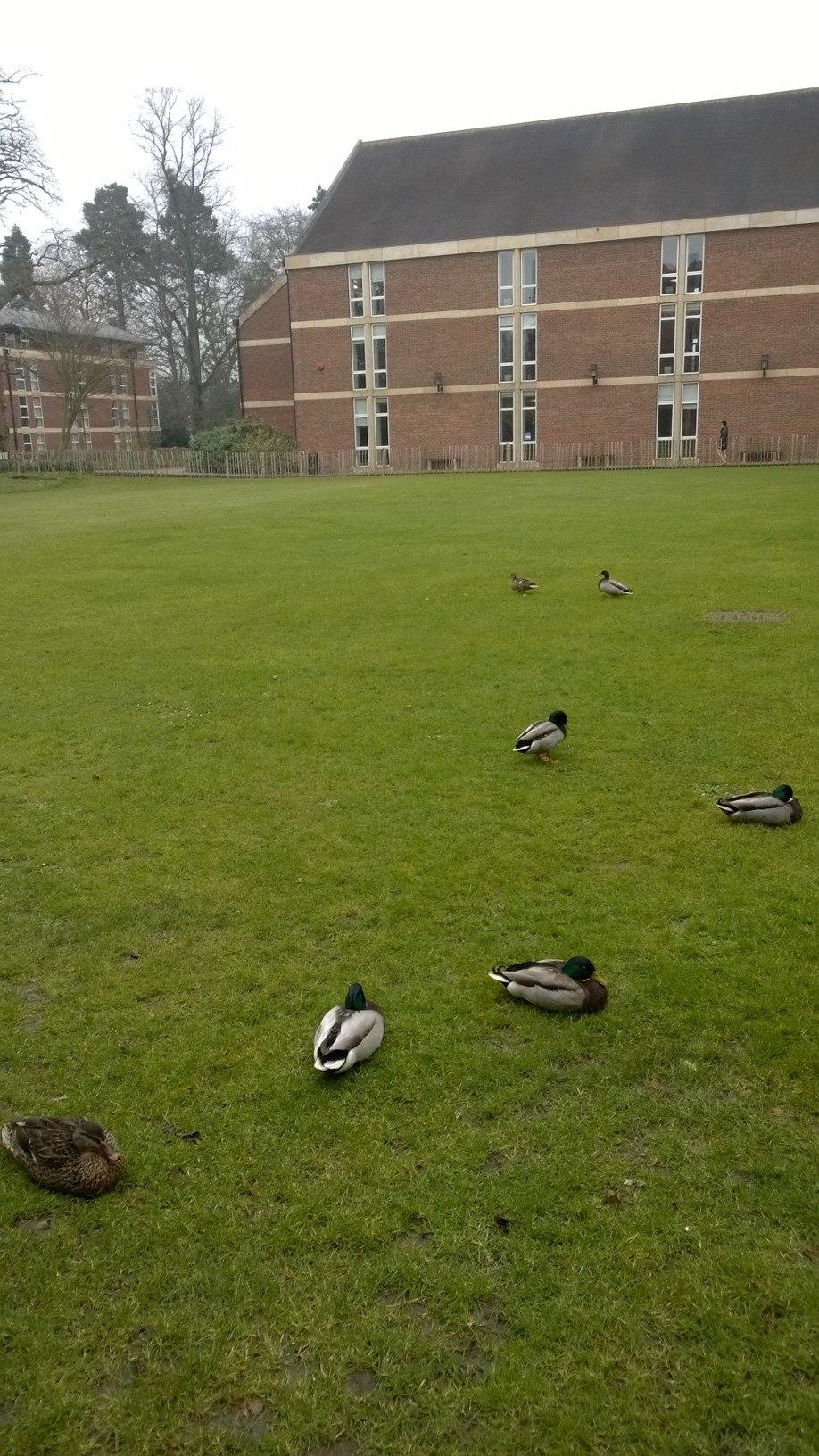 Homerton - more ducks than firsts