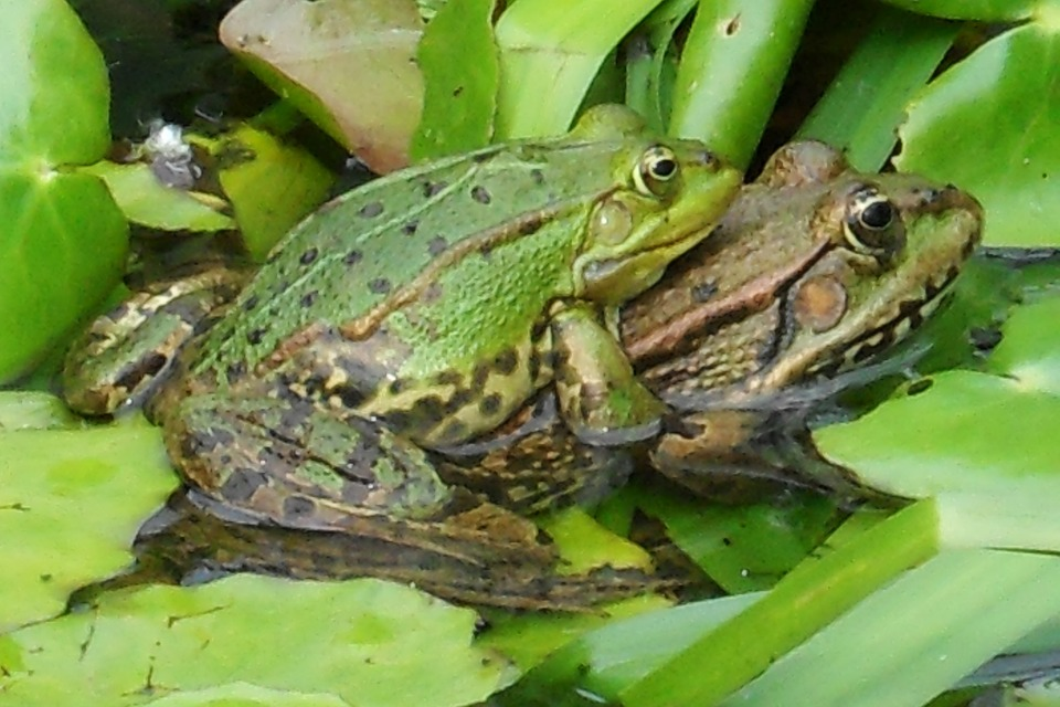 frogs-259647_960_720