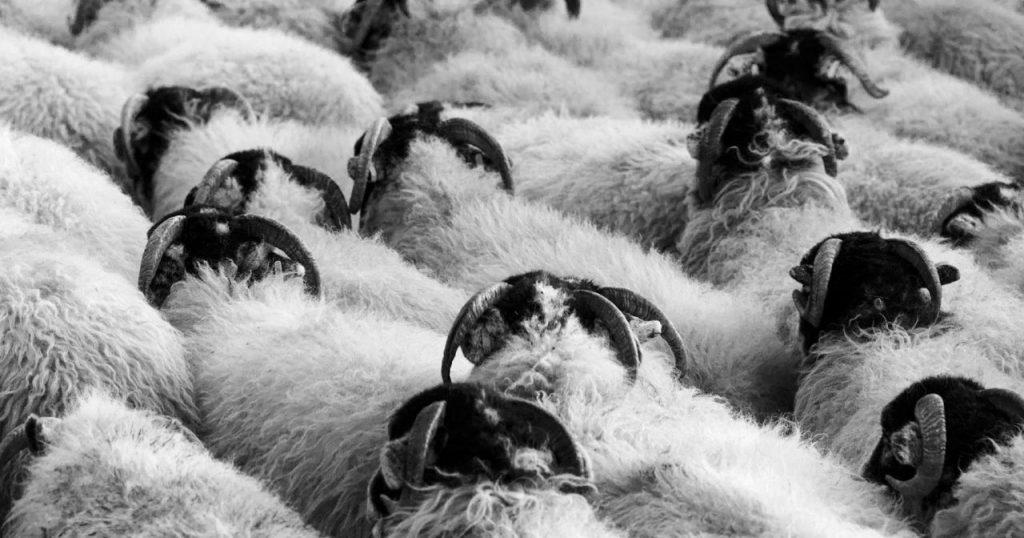 Image may contain: Sheep, Mammal, Animal