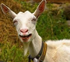 Image may contain: Mammal, Goat, Animal