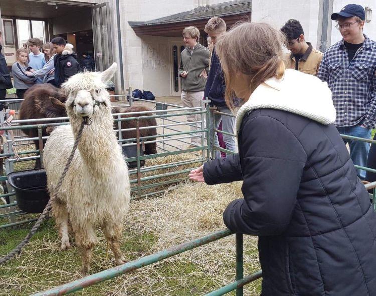 Image may contain: Sheep, Llama, Mammal, Alpaca, Animal, Human, Person