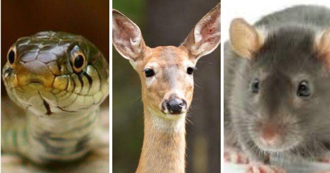 Image may contain: Rodent, Rat, Wildlife, Deer, Mammal, Animal