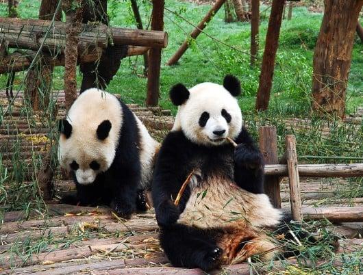 panda loses baby