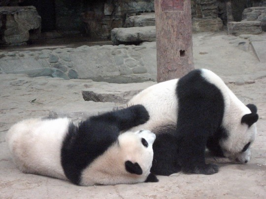 Pandas are known to be rather voyeuristic