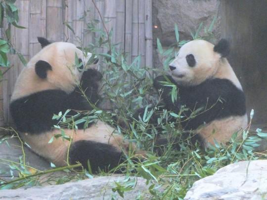 Panda flirting