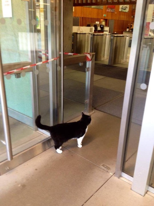 Library cat demonstrates how not to enter the building