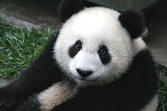 Panda_Cub_from_Wolong,_Sichuan,_China