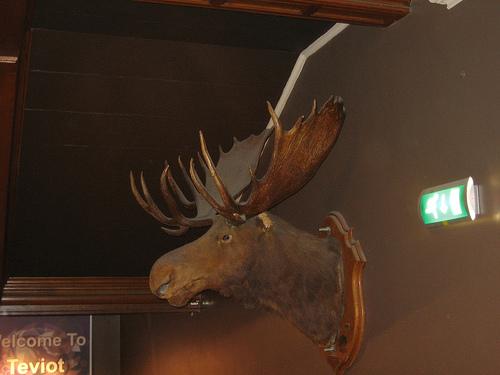 teviot moose