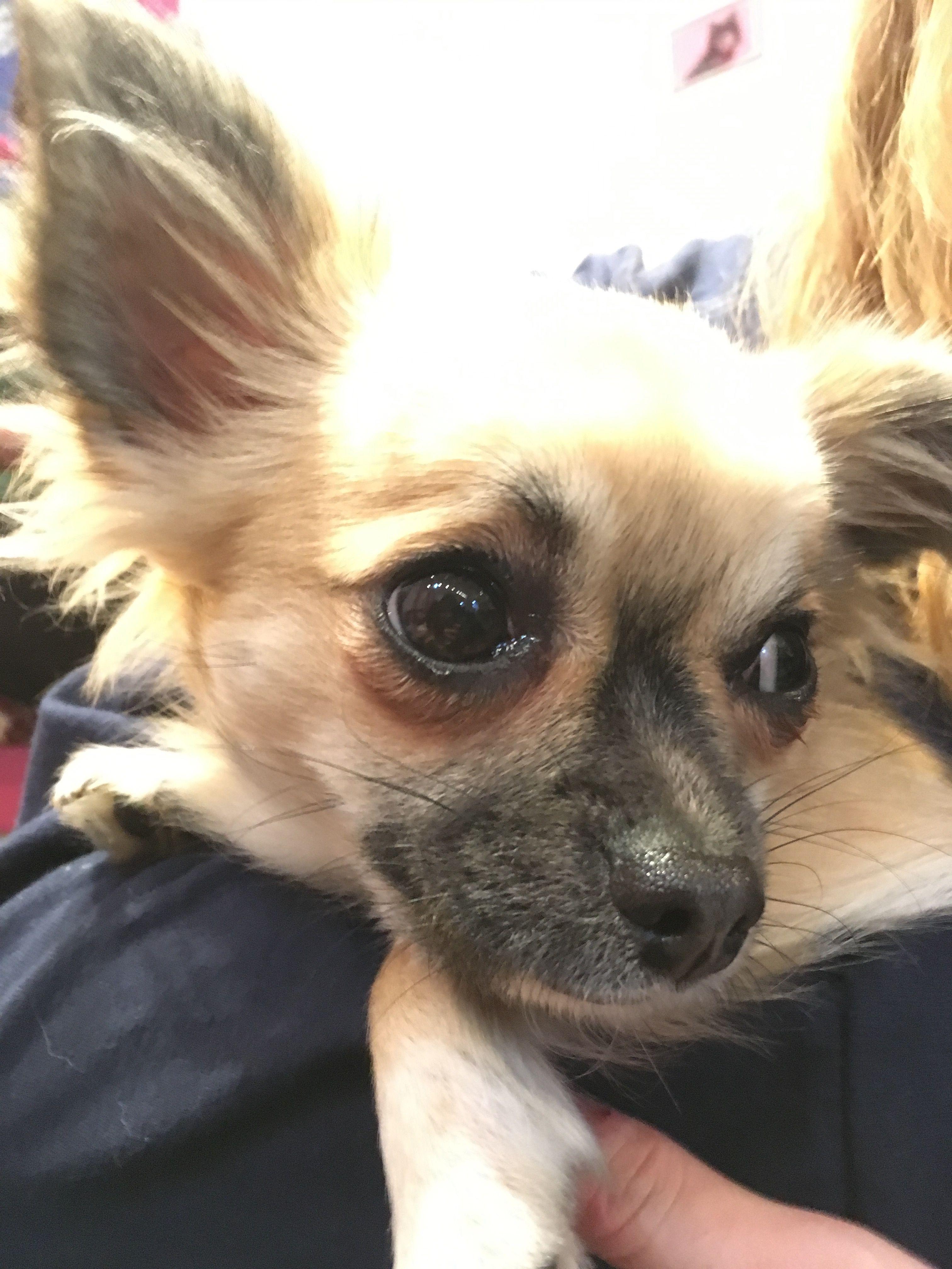 Image may contain: Spaniel, Papillon, Cocker Spaniel, Pet, Mammal, Dog, Chihuahua, Canine, Animal